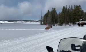 Bison Trudge Through Some Seriously Deep Snow