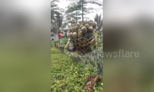 Pineapple farmers carry over 100-kilo-weight baskets showing immense strength