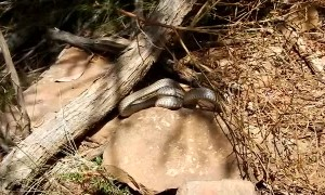 Venomous Eastern Brown Snake Catches Skink