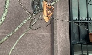 Squirrel Carries Around Huge Slice of Pizza