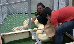 Giant Burmese Python unloaded from crate to Thai pet show