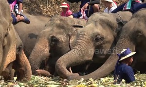 Elephants treated to 'all-you-can-eat' buffet as Thailand celebrates National Elephant Day