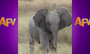 AFV's Funniest Elephants