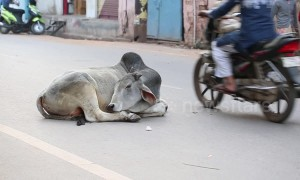 Holy cow! Bovine stays fast asleep in middle of busy street traffic