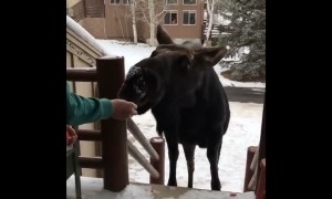 Curious Moose Stops by House for Meal