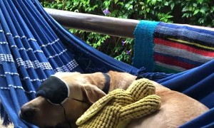 Peaceful Pooch Slumbers in Hammock