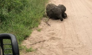 Elephant Calf Comes Over to Play