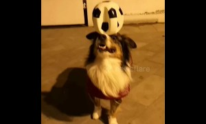 Is this dog the new Ronaldo? Pooch shows off ace balance skills with a football