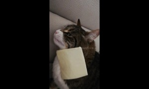 Cat breaks after being cheesed