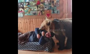 Brown bear refuses to share sofa with his human