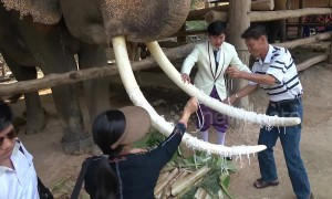 Tourists in Thailand put string on elephant's tusks for good luck