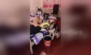 Obedient huskies serve lazy owner by holding phone and snacks for him