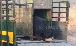 Heartwarming moment rescued bear steps out of cage for freedom