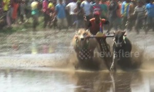 A gritty competition! Indonesian town hosts thrilling ox-plough racing