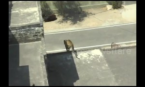 Leopard charges through Indian town and only subdued after seven-hour chase