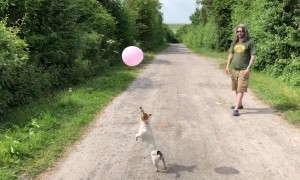 Little Jack Russell terrier goes hopping mad for balloon