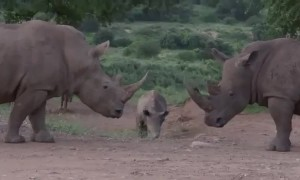 Cute rhino calf playing with his herd at picnic area in South Africa