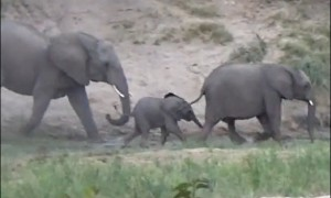Baby elephant's excitement results in tumble downhill