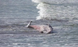 Tragic end for juvenile humpback whale stranded on beach in northern Spain