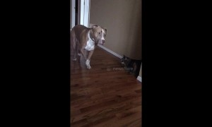 Terrier-fied! Pitbull is so scared of cat he can hardly bear to look