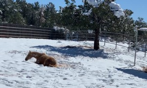 Palomino Horse Makes A Snow Angel