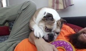 Bulldog wrestles with owner to get its paws on doughnut toy