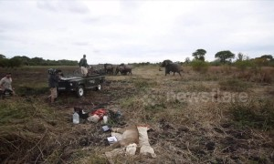 Herd of elephants charges vets operating on injured lion