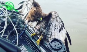 Struggling red-tailed hawk hitches ride to safety on US fisherman's boat