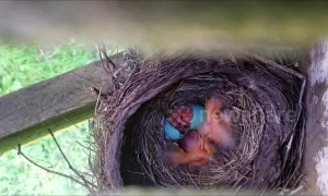 Newborn robin joins siblings in touching nest time-lapse