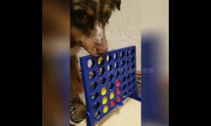 Clever dogs enjoy playing Connect Four