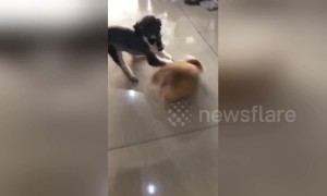 Chubby corgi knocked down by speeding miniature schnauzer
