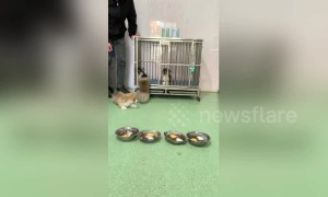 Short-legged corgi puppies tumble out of their cage in China's Shandong