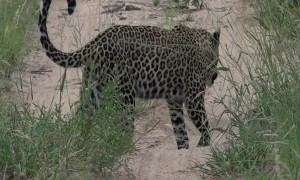 Mongoose's Close Call with Waiting Leopard