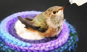 Licensed Rehabilitators Save a Baby Hummingbird