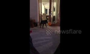 Playful dog enjoys toying with balloon until it bursts