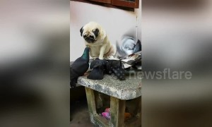 Innocent pug looks sad as pigeons steal his plate of food