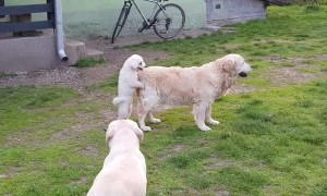 Puppy hilariously jumps onto Golden Retriever's back and goes for ride