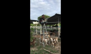 Man eats lunch of top of ladder to escape dogs begging for food