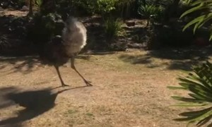 Jack Russell and Emu Playfully Chase Each Other