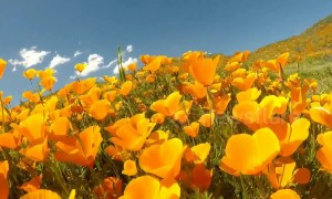Fly through the California wildflower superbloom