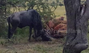 Pack of hyenas bring down pair of fighting wildebeest