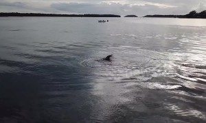 Freshly caught! Seal plays with octopus snack in New South Wales harbour