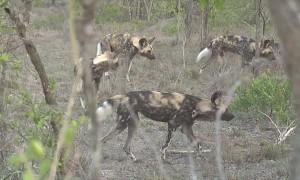 Wild Dog Pack Corner Lone Hyena
