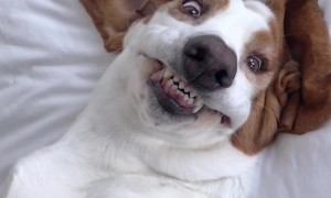 Adorkable Basset Hound Makes Silly Faces