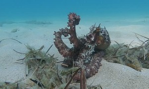Octopus Changes Color to Resemble Ocean Floor