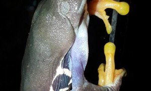 Red-Eyed Tree Frog Looks for Next Meal