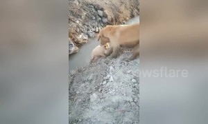 Mother golden retriever helps puppy get out of ditch