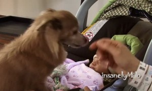 Milo the Chihuahua's priceless reaction after meeting baby sister