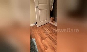 Kitten tries to play with golden retriever but can't quite reach her