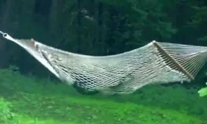 Wild bear has time of its life playing around on hammock